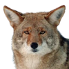 Coyote - sm - Contact