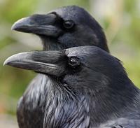 Ravens - Sour Bunnies