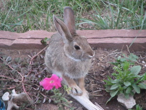 Cottontail Rabbit - Latigo Lines