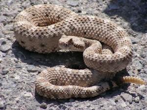 Sidewinder Rattlesnake - Latigo Lines