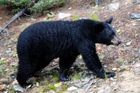 Black Bear - Doc and the Bear